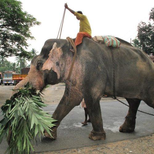 cochin-007-elephant-du-temple-sur-la-route